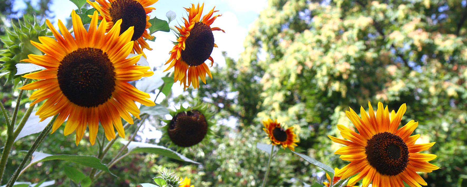 Blühende Sonnenblumen auf dem Schulacker